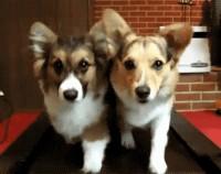 Schattige puppies op een loopband